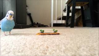 Budgie Bird on his Skateboard