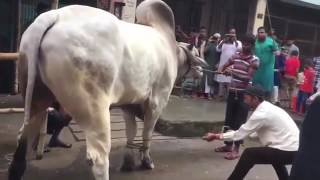 Biggest Sibbi Bull Qurbani 2016 Eid-ul-Azha!
