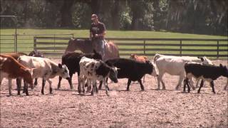 Caton Parelli introduces new foal Luminosa to Cows for the first time