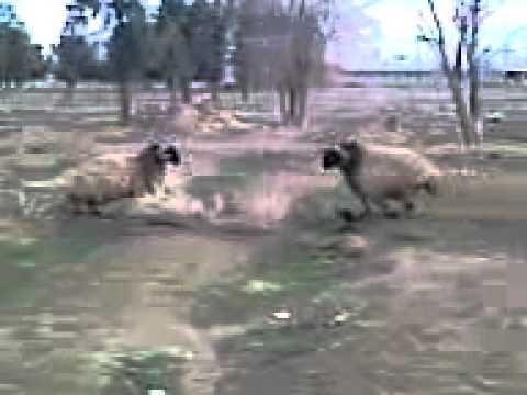 Koçlar dövüşürse