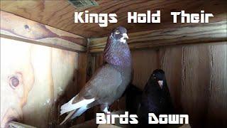 Birmingham Roller Pigeons and Barley