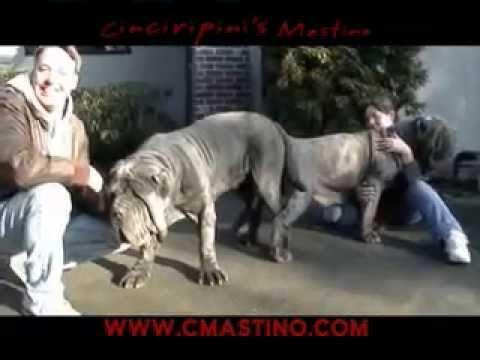 Breeding Huge Dogs - Neapolitan Mastiff Cinciripni's