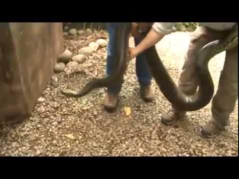 Ataques reais de Cobras