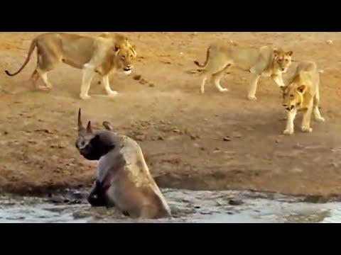 Xxx Mp4 3 Lions Attack Black Rhino That S Stuck In Mud 3gp Sex