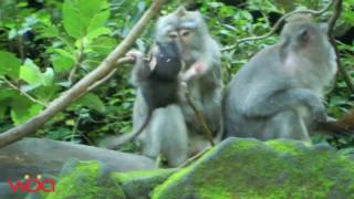 Monkey mating of male & femal funny