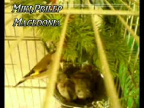 Jilguero chardonneret cardellino carduelis trnance stiglica