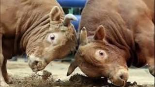 পাগলা গরুর লড়াই ..... cow fight না দেখলে একদম মিস।