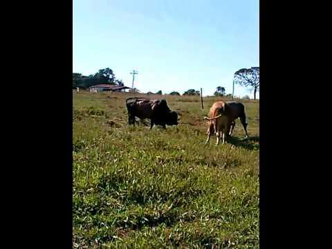 Briga de touros ai o bicho pega