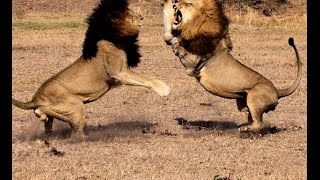 Power Of The Male Lion l HD - 1080P