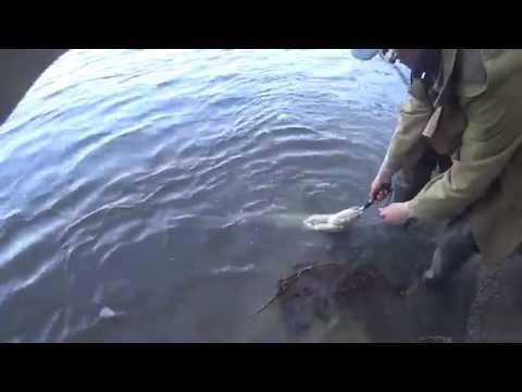 ловля сома на оке в рязани видео