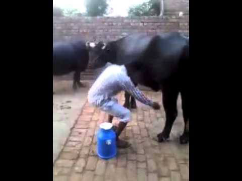 Funny indian cow milking must watch
