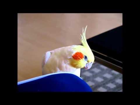 Calopsita cantando 2