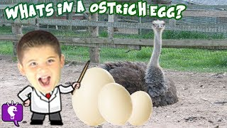 What's in a GIANT Ostrich Egg? Surprise + HobbyScience Lab Family Fun and Facts HobbyKidsTV