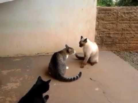 Briga de Gatos Gatos engraçados