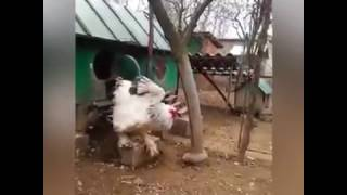 Biggest rooster in the world - MASSIVE Brahma ROOSTER CHICKEN (GIANT CHICKEN)