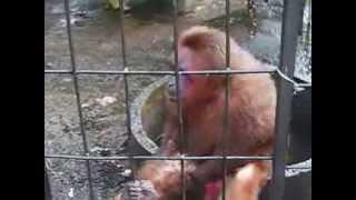 Monkey Has Banana Rage Video