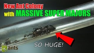 NEW ANT COLONY: MASSIVE SUPER MAJORS!