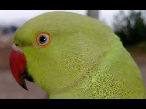 Parrot ko bolna kaisey sekhay??? Only on pretii (urdu,hindi)