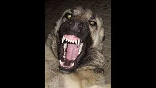 STRONGEST DOG IN THE WORLD ATTACK