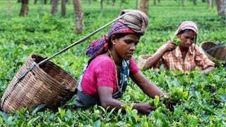 "►""Tea Garden"" 