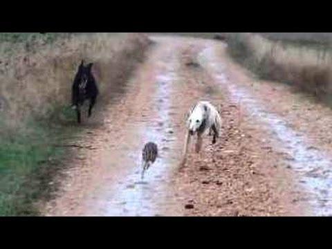 11. Galgos vs Liebres XI Greyhounds vs Hares XI Otra buena carrera