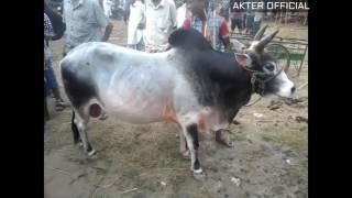 Sylhet  Gorur hut - 2016 Bangladesh  || 250K TAKAR GORU || AMAZING BULLS