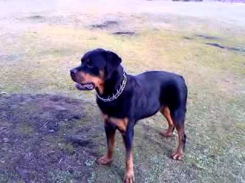 Xxx Mp4 My Boy Bob The Best Rottweiler Ever RIP Xxx 3gp Sex
