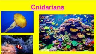 Chapter 11: Cnidarians