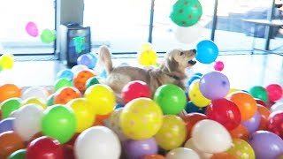 SURPRISING MY DOG WITH 200 BALLOONS (HE FREAKS OUT)