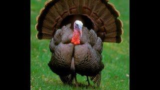 দেখুন টার্কি মুরগির কাহিনী...Turkey hen in BANGLADESH