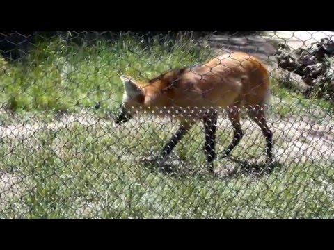 Maned Wolf, Performing with Trainer