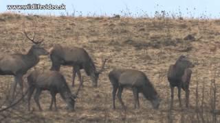 Marec 2015 - Keď jelene zhadzujú - HD
