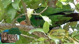 Mencari Perangkap Dari Para Pemburu Burung Nuri Bayan Yg Cukup Langka Jejak Rimba