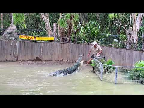 Attacked by saltwater croc show at Hartleys Crocodile Adventures