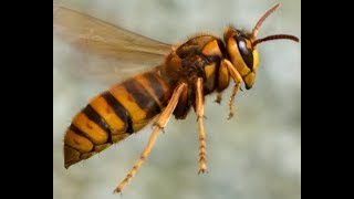 Are Hornets Vespa crabro Friends or Foes for Beekeepers?