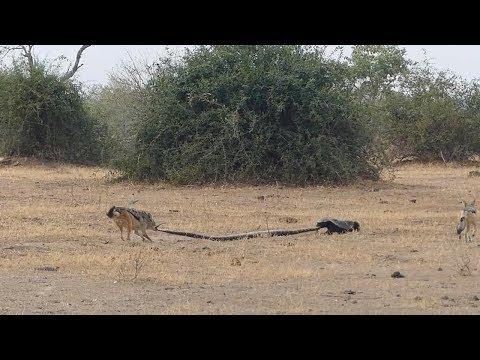 Python Honey Badger & Jackal Fight Each Other