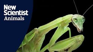Female praying mantis eats her lover during sex