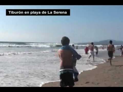 Tiburon en la orilla de playa de La Serena 24 01 10