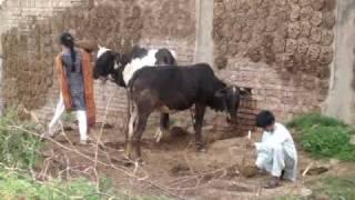 village scene,desi gaon,pothwar,beval,kallar syedan.chohakhalsa