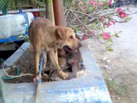 Monkey fighting dog.3gp