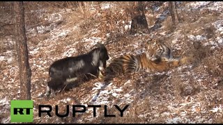 Russia: Goat off the menu as TIGER strikes up unlikely friendship with its meal