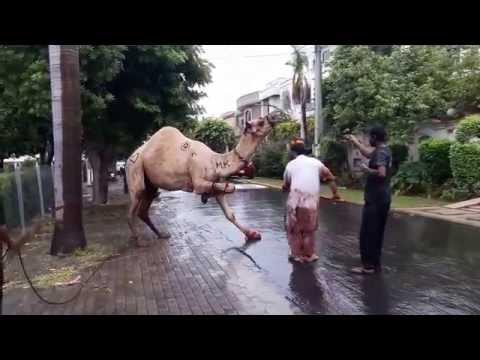 Xxx Mp4 Camel Qurbani EId 3gp Sex