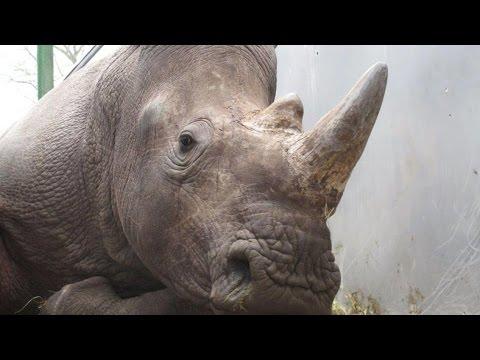 Rhino Poached INSIDE Zoo