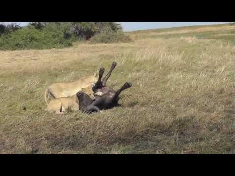 Lion Kill Kills 2 and 3 of triple kill Duba Plains with Silver Eye from Last Lions