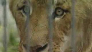 Half lion, half tiger - it's a liger