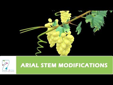 AERIAL STEM MODIFICATIONS