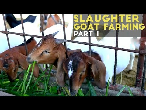 Slaughter Goat Farming Part 1 Slaughter Goat Farming in the Philippines Agribusiness Philippines