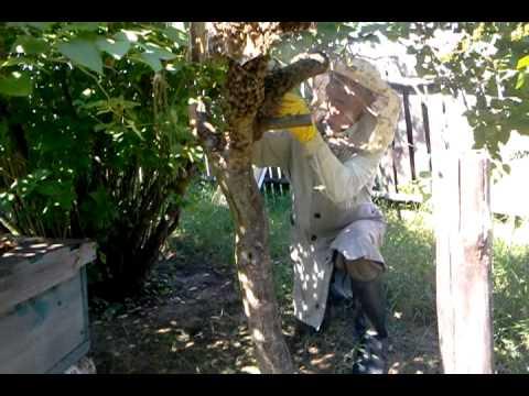 видео с пчелами ловля