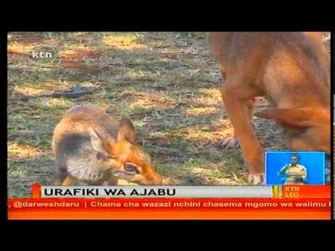 Ajabu ya Mbwa kufanya usuhuba na mnayama Digidigi au Dikdik