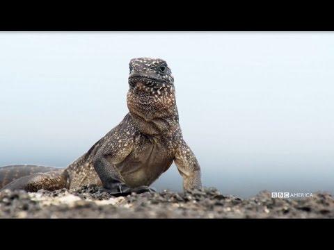 Xxx Mp4 NEW PREMIERE DATE Feb 18th Iguana Vs Snake Planet Earth II On BBC America 3gp Sex